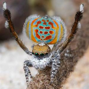 New Species of Peacock Spider has Leopard Spots and Cat ...