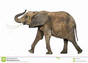 Side View Of An African Elephant Lifting Its Trunk Stock ...