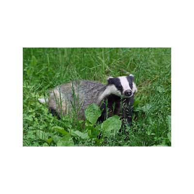 European badger - Wikipedia