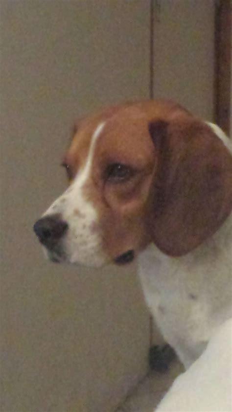 donne beagle aisne 02 gratuit sur animoz net