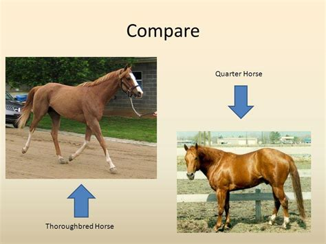 quarter horse thoroughbred between different height head weight racing span aspects equestrian expectancy however origin sports