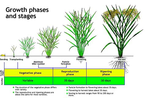 Growth Stages Of The Rice Plant  The Growth Of The Rice Pla… Flickr
