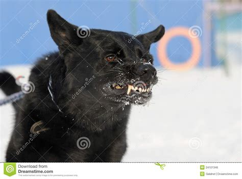 mad dog stock photo image  aggressive grin grinning
