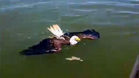 corbett wing swimming bald eagle rescued by bystanders