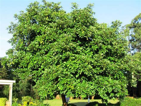 avocado tree avocados kenya plant grow fruit does long take branch produce