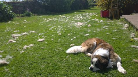 Do St Bernards Shed by So We Tried Grooming Our St Bernard Aww