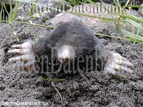 was hilft gegen maulwürfe maulwurf bek 228 mpfen was tun gegen maulw 252 rfe im garten