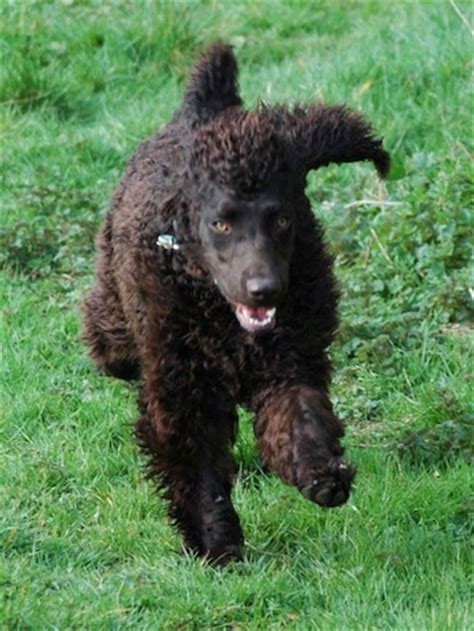 irish water spaniel dog breed information  pictures