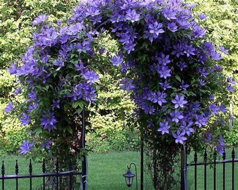 Beautiful Clematis (perennial) Over An Arbor Grow