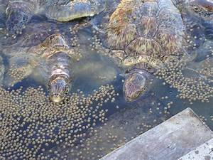 Sea turtles eating - Picture of Cayman Turtle Centre ...
