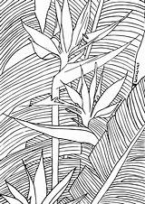 Coloring Paradise Birds Plant Lineart Transparent Required Mail sketch template