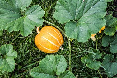 Pumpkin Leaf Greens (muboora)