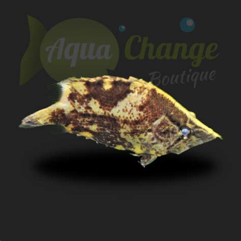 achat en ligne de poisson feuille monocirrhus polyacanthus