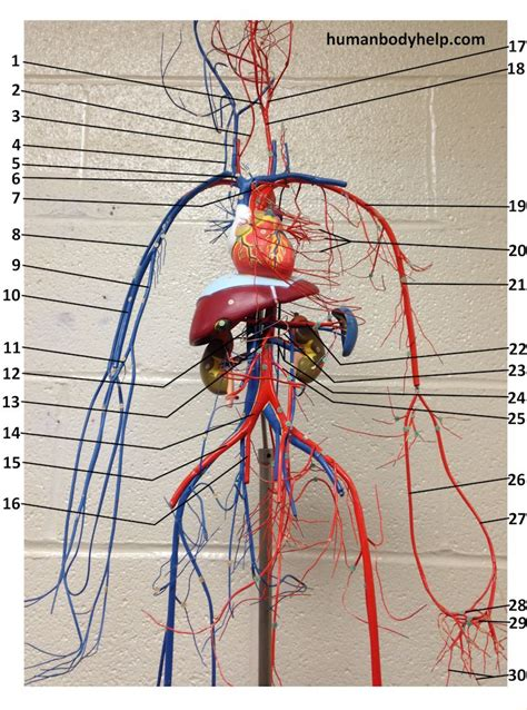 Capillaries are the smallest blood vessels where molecules move between blood and interstitial fluid of the tissues. Wire Blood Vessel Model Upper - Human Body Help