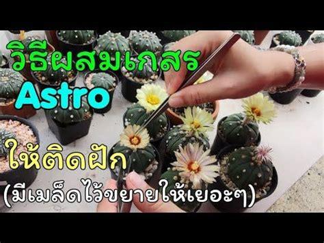 วิธีผสมเกสรแอสโตรให้ติดเมล็ดง่ายๆแต่ได้ผล[เพื่อไว้ขยายพันธุ์เองให้ได้เยอะๆ] Pollinate Cactus ...