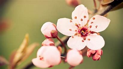 Blossoms Cherry Plants Wallpapers Nature Ru Flowers