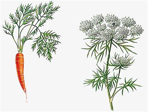cuisine orientale encyclopédie larousse en ligne carotte