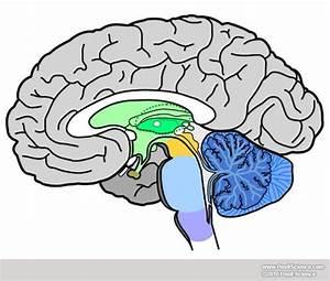 Printable Unlabeled Brain Diagram