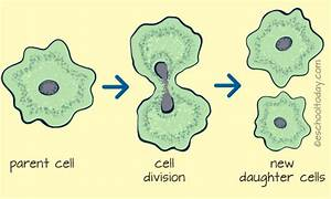 What Is Binary Fission And Multiple Fission In Asexual Reproduction