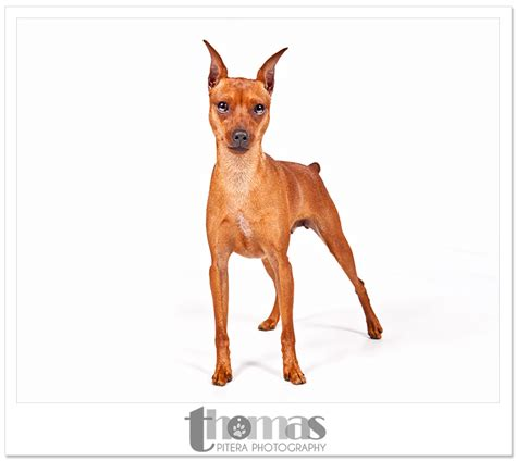 show smaller breeds dog show  thomas pitera