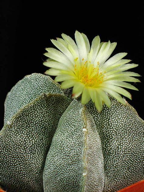 Astrophytum Myriostigma Bishops Cap World Of Succulents