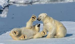 Polar bears caught playing in the snow in the Artic Circle ...