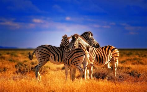 beautiful colorful animals zebras hd wallpaper