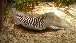Cuttlefish Could Actually Be The Coolest Cephalopods