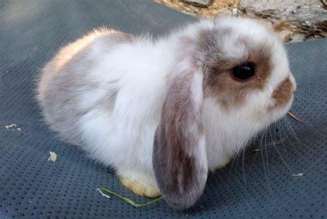 orejas del conejo mini lop imagenes  fotos