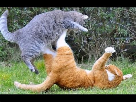 funny cats fighting funny cats fighting
