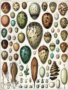 Uovo (biologia) - Wikipedia