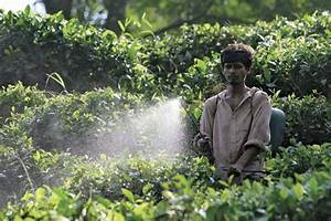 pesticide: farmer spraying on tea plants -- Kids ...