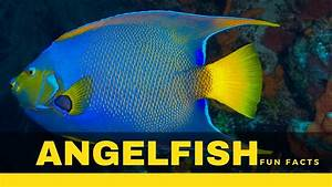 Angelfish Facts U2019 Types Size Food Care Secrets And Many