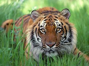 Fierce Tiger Wallpaper | Free Wallpaper World