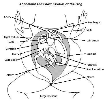 Biology Junction  Online Frog Dissection  Biology  Homeschool Science  Pinterest Frogs