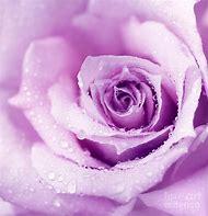 Wet Purple Rose