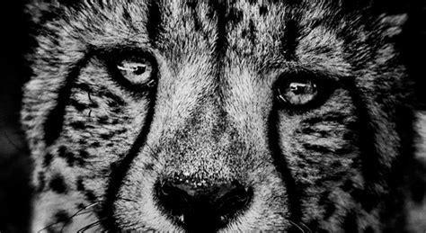 Tierbilder Schwarz Weiß by The Family Album Of Africa Preisgekr 246 Nt So Sch 246 N