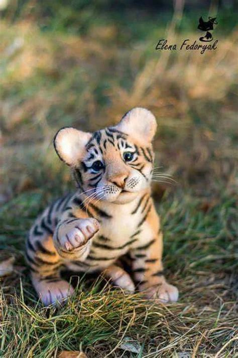 baby tigers ideas  pinterest tiger cubs