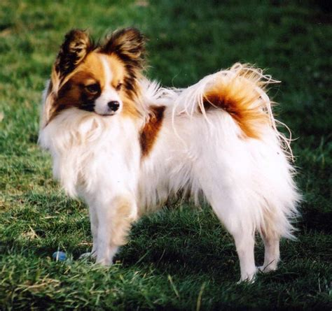 papillon dog breed 187 information pictures more