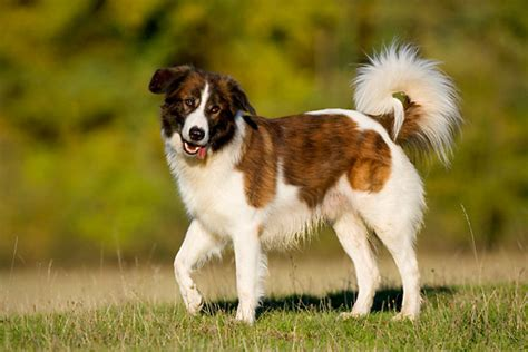 Hypoallergenic Non Shedding Dog Breeds by Aidi Breed Guide Learn About The Aidi