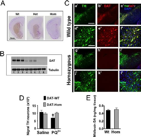 mutant dat hypomorphic mice are resistant to pq