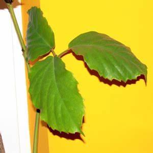Zimmerpflanze Große Blätter : russischer wein das gro e lexikon der zimmerpflanzen ~ Lizthompson.info Haus und Dekorationen