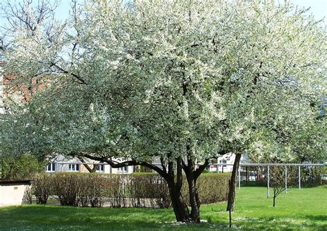 schnell wachsender baum mit breiter krone schattenbaum prunus cerasifa kirschplaume kleiner baum mit breiter krone