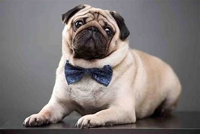 Pug Wallpapers Android Internet Screen Apkpure
