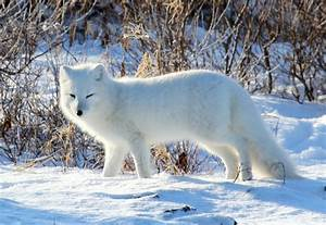 Your Adventure  Iceland  Episode 2  The Arctic Fox