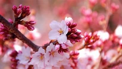 Sakura Blossom Cherry Flowers Wallpapers Spring Flower