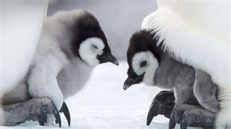 baby penguins   pretty cute  dont stand