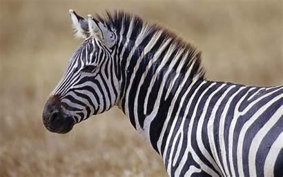 Zebra Desktop Backgrounds Wallpapers Animals Pixelstalk Lazy