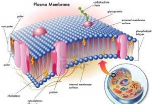 Cell Membrane Organelle