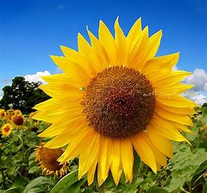 Yellow Sunflower. Blue Sky. | I can see why they call it a ...
